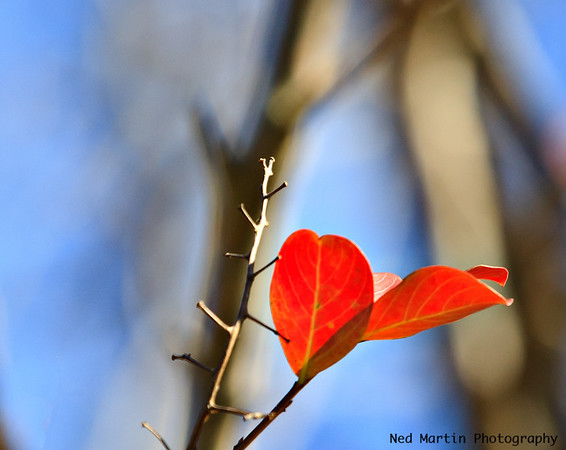 Leaf at Colonial Williamsburg