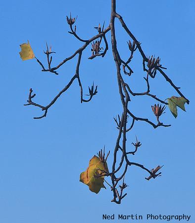 Jamestown Leaves