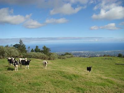 Prim'Holstein au Tampon, avec Saint-Pierre et son lagon en arrière-plan...