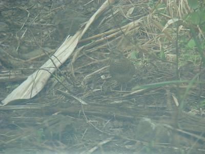 Caille pays, femelle (Turnix nigricollis)
