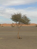 Camel Thorn Tree - It looks quite striking against the blue sky and the vast emptiness on the border of the Sahara Desert