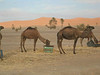 Camels munching on hay - These lot were more interested in their lovely hay to chew on than in us!