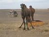 Strike the pose! - Good camel models are so hard to find these days!