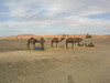 Camels at the ready - All set to take us out into the desert for the night.