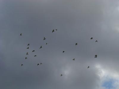 Un vol de Cacatoes a huppe jaune (Cacatua galerita)
