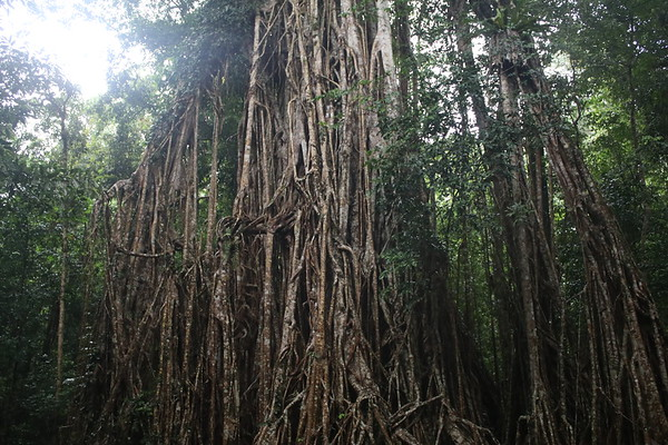 Cathedral Fig Tree
