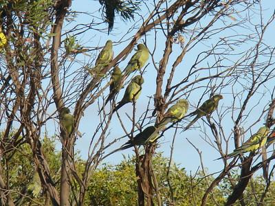 Smoka parrots/Regent parrots