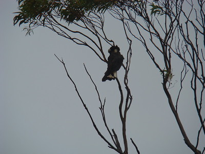 White-tailed black cockatoo (Calyptorhynchus latirostris)