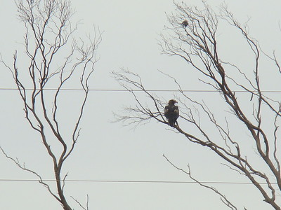Wedge-tailed eagle (Aquila audax), and magpie