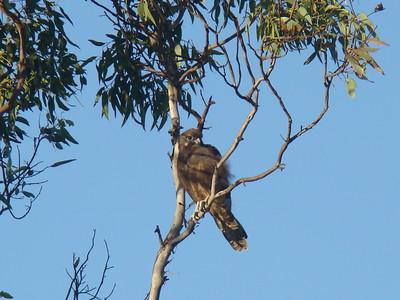 Brown falcon (dark morph)