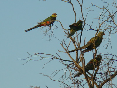 Red-capped parrot and regent parrots