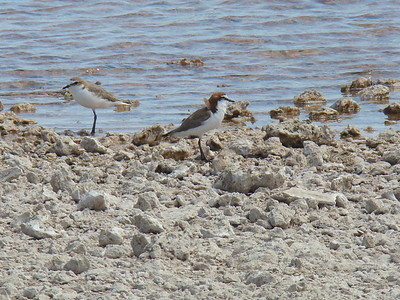 Red-capped plover (female on the left, male on the right)