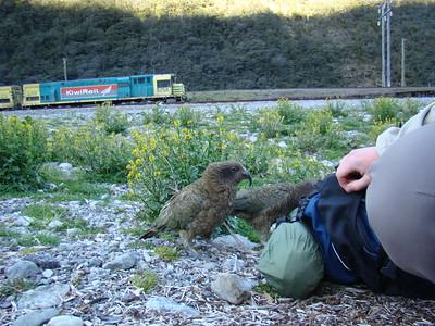 Harcele par les perroquets...  Kea (Nestor notabilis)