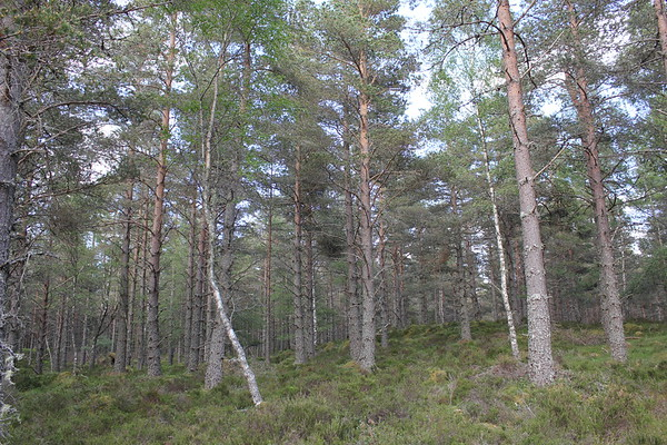 Cairngorms NP-Abernethy Forest
