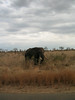Grazing elephant
