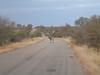 Zebra roadside