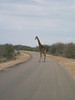 Giraffe on the roadside