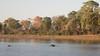 Hippos, Okavango Delta