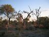 Skeletal like trees, Okavango Delta