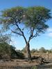 Swallow nests, Okavango Delta