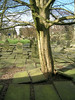 Tree roots pushing up tombstones - Cemetary, Old Church, built 13th century, Heptonstall