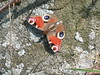 Colourful moth on mossy rock