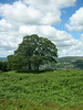 Tree in the Ilkley moors