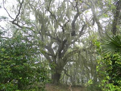 800 yr old Live Oak