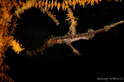 Ornate Ghostpipe Fish