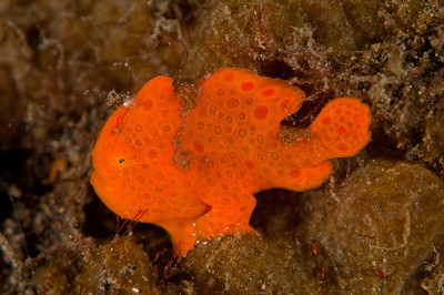 Anglerfisch (Frog Fish)