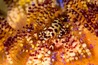 Colemans Partnergarnele auf Feuerseeigel, Coleman Shrimp on Fire Seaurchin