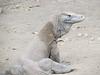 Komodo Dragons, Komodo National park, Rinca Island, Indonesia, 9/18/2012