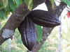 Ripe Coco beans, Flores Island, 9/20/2012