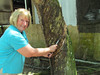 Shirley making a cut on a rubber tree to get rubber sap, Malaysia, 8/22/2012
