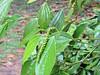 Coffee plant, Sarawak Culture Village, 8/28/2012