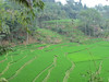 Rice fields in Napa, a traditional Sundanese village that has stayed like the olden times, Java, 9/4/2012
