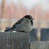 Bird near Ulan-Ude, Siberia, 1/18/2013