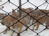 Siberian Tiger Park, Harbin, China, 1/12/2013