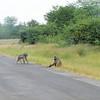 Baboons along the way. Livingston, Zambia, 4/2/2014