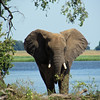 Elephant, Safari boat trip in Chobe National Park, Botswana, 4/4/2014
