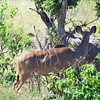 Kudu, Safari boat trip in Chobe National Park, Botswana, 4/4/2014