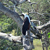 African Fish Eagle, Safari boat trip in Chobe National Park, Botswana, 4/4/2014