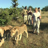 Walking with the lions! Lion Encounter! Livingston, Zambia, 4/6/2014