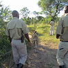 Lion Encounter! They have a program to reintroduce lions into the wild. Livingston, Zambia, 4/6/2014