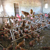 The chicken house is a new business for this village, Sindlie, near Livingston, Zambia, 4/5/2014