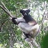 Indri Lemurs, Andasibe-Mantadia National Park, Madagascar, 4/10/2014