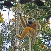 Diademed Sifaka Lemurs, Andasibe-Mantadia National Park, Madagascar, 4/10/2014