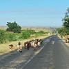 Goats, Southern Madagascar, 4/17/2014