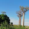 Babobab Tree, Madagascar, 4/17/2014