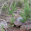 La Galapaguera Tortoise Breeding Center, San Cristobal Island, Galapagos Islands, Ecuador, 9/11/2017